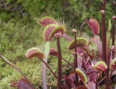 How to Do Venus Fly Trap Care