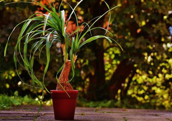 elephant foot plant care