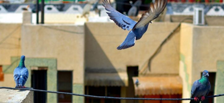 how to get rid of pigeons without hurting them